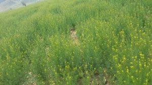 بذر خاکشیر فصل کاشت خاکشیر