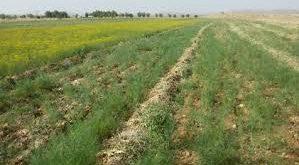 قیمت بذر خاکشیر