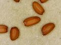 روش داشت و برداشت محصول خاکشیر